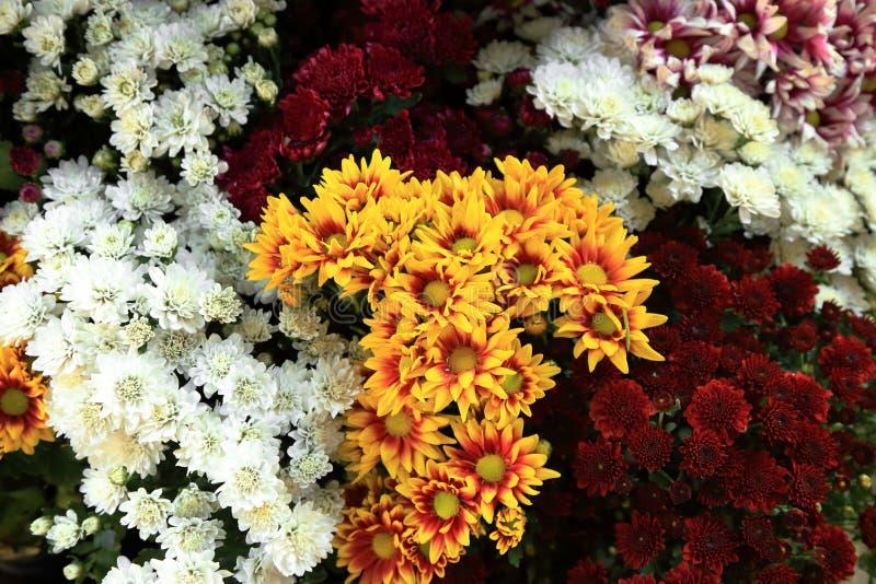 Bouquet multi de fleur de chrysanthème de couleurs pour le fond images libres de droits
