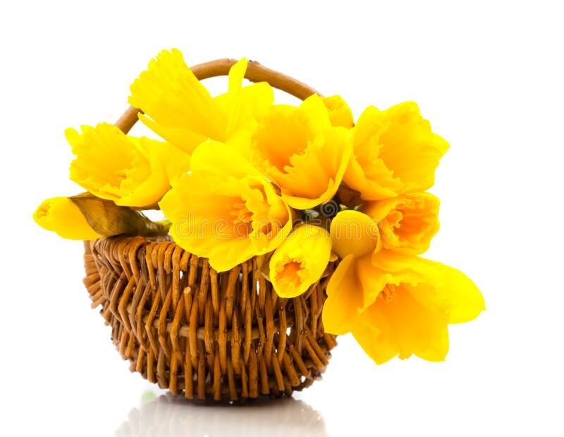 Bouquet of narcissus flowers in a basket, royalty free stock photography