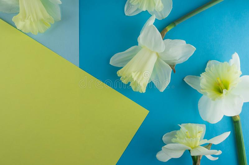 Bouquet of narcissus. Spring flowers. Blue and yellow background royalty free stock images