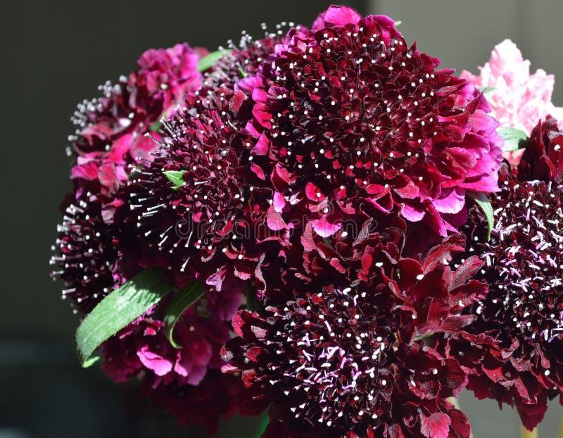 Bouquet noir de fleur de pelote à épingles de chevalier noir de pompon images libres de droits