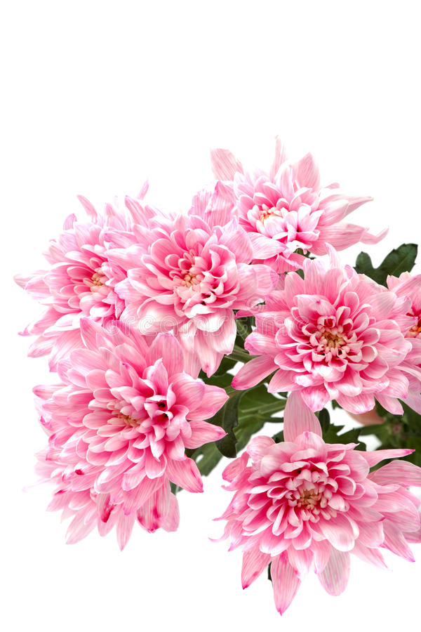 Free Bouquet Of Pink Chrysanthemums On White Background. Royalty Free Stock Images - 55864089
