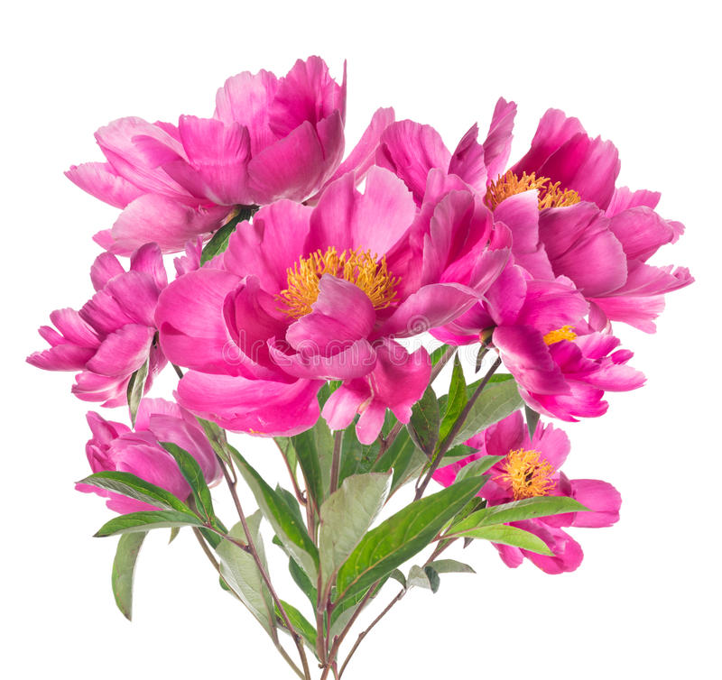 Free Bouquet Of Pink Peonies With Yellow Stamens, Isolated On White Stock Image - 43959991