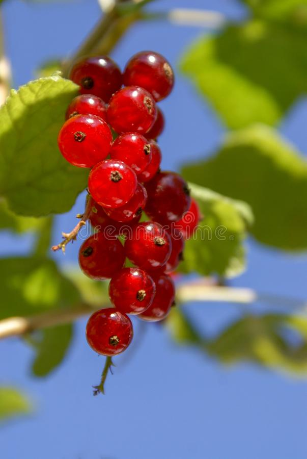 Free Bouquet Of Red Currant Berries Ribes Rubrum On A Branch With Leaves Close-up Royalty Free Stock Photos - 162113518