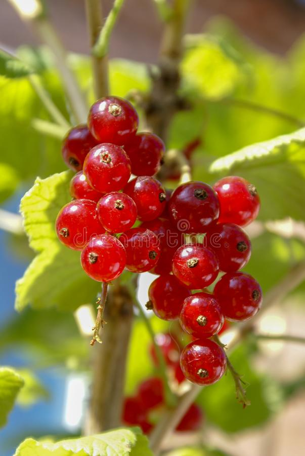 Free Bouquet Of Red Currant Berries Ribes Rubrum On A Branch With Leaves Close-up Stock Photography - 162113522