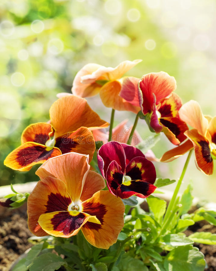 Free Bouquet Of Red Pansies Stock Photos - 19996913