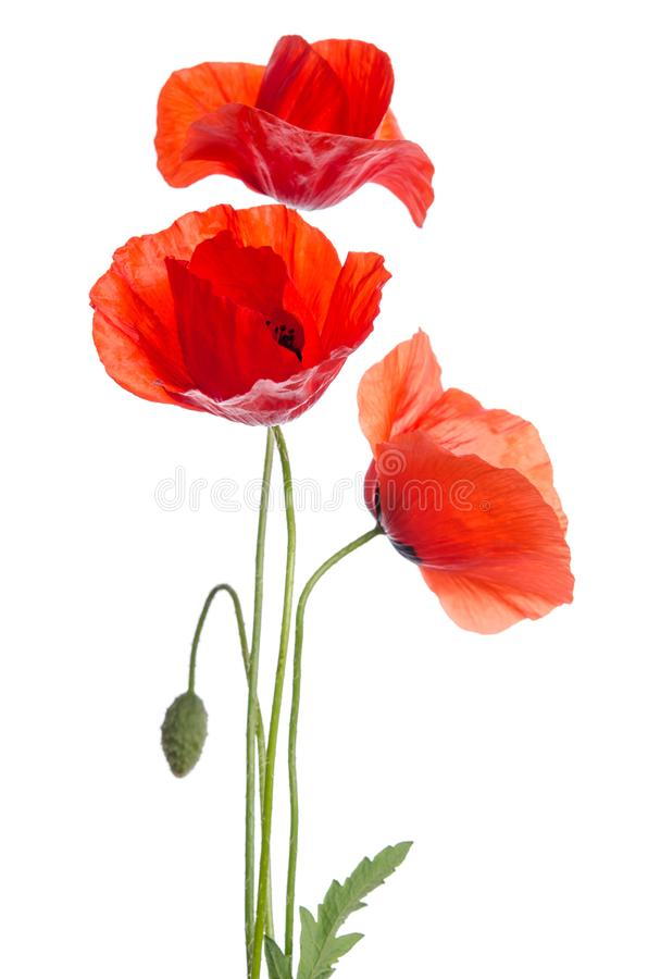 Free Bouquet Of Red Poppies Royalty Free Stock Image - 144251616