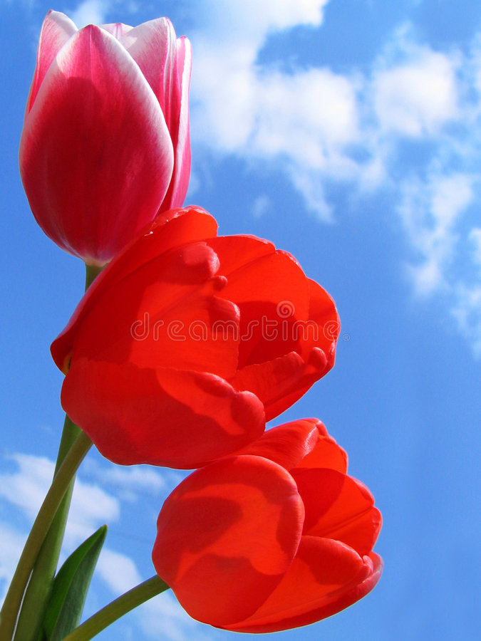 Free Bouquet Of Tulips Royalty Free Stock Images - 144669