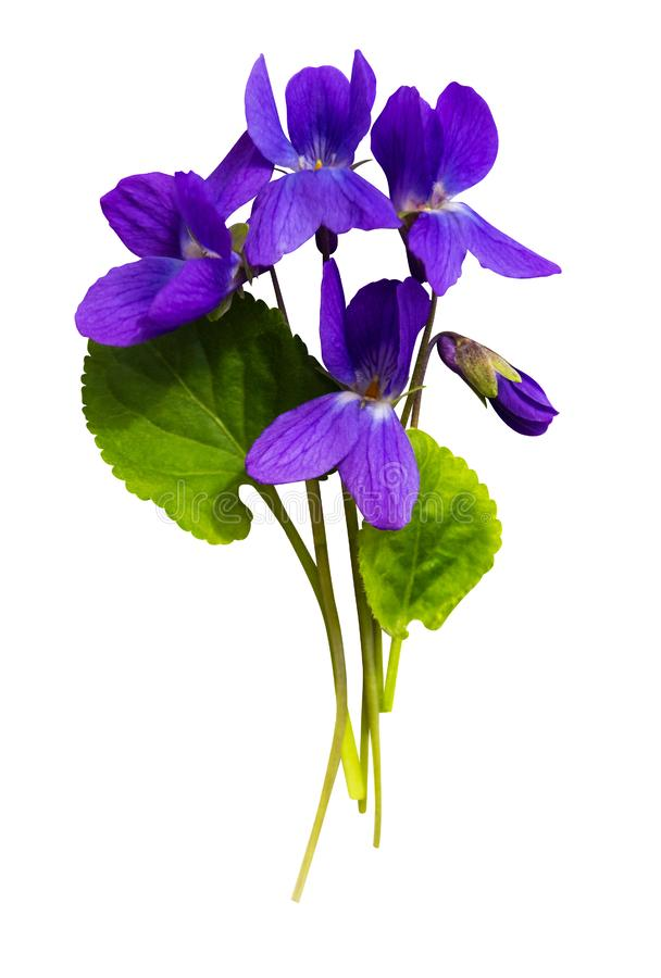Free Bouquet Of Violets Isolated On White Background Stock Images - 158747384