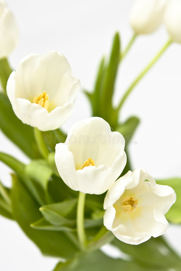 Free Bouquet Of White Tulips Royalty Free Stock Image - 5390116