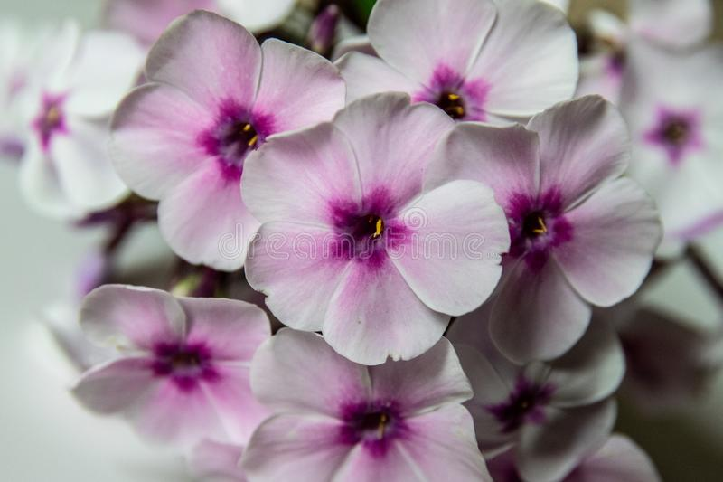 Bouquet Phlox flowers stock photo. Image of growth, phlox ...