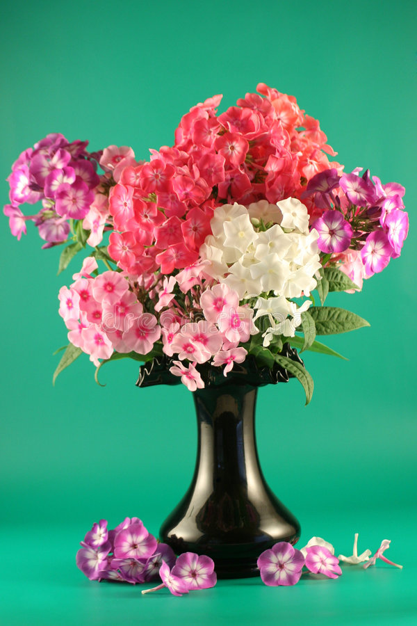 Bouquet of phloxes in a vase royalty free stock photo