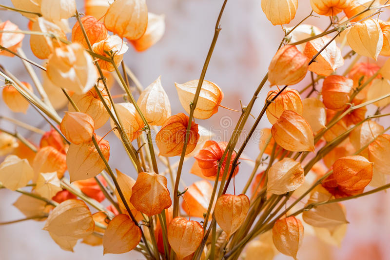 A bouquet Physalis of dried flowers on blurred background stock image