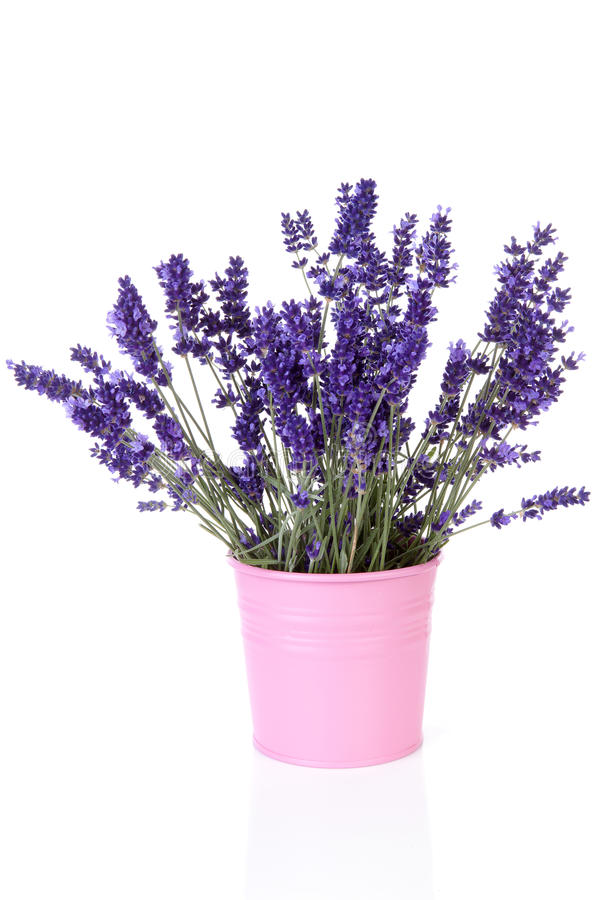Bouquet of picked lavender in vase over white background. Bouquet of picked lavender in vase royalty free stock photography