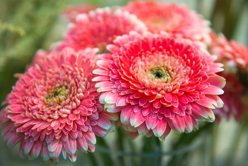 Bouquet of pink chrysanthemums, close up, selective focus. Gardening, Floriculture, flowers theme royalty free stock image