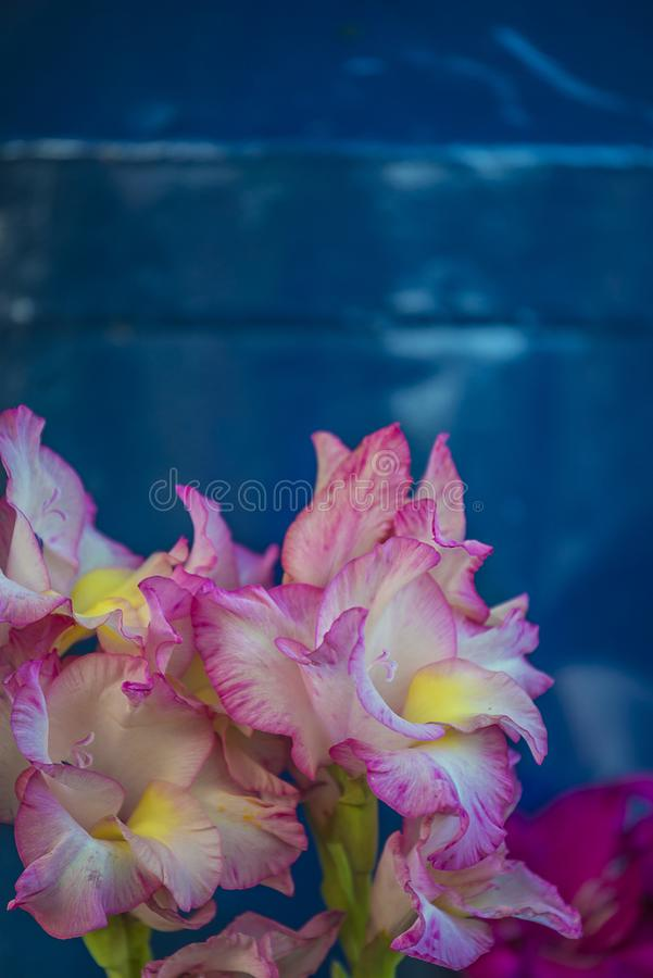 Bouquet of pink gladiolus flowers on blue background stock photo