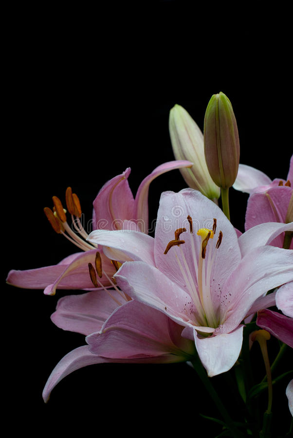 Bouquet of pink lilies with the drops of dew stock images