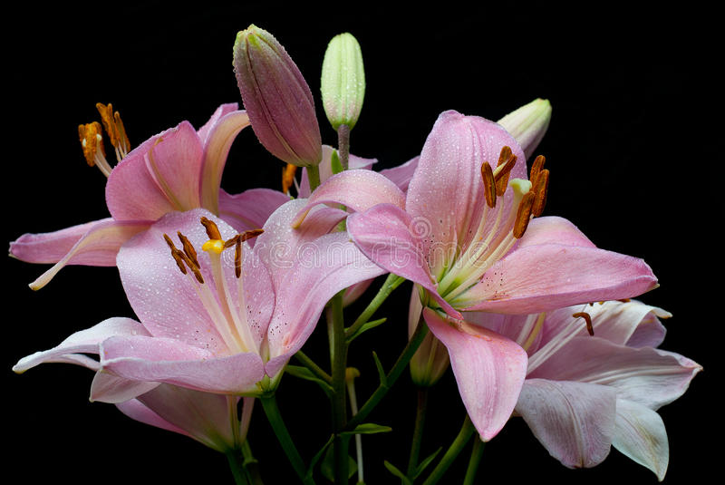 Bouquet of pink lilies with the drops of dew royalty free stock photos
