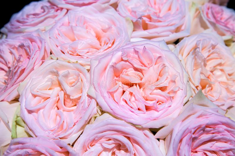 Bouquet of pink orange peach roses on a dark background. Selective focus. Agriculture Floriculture royalty free stock photos