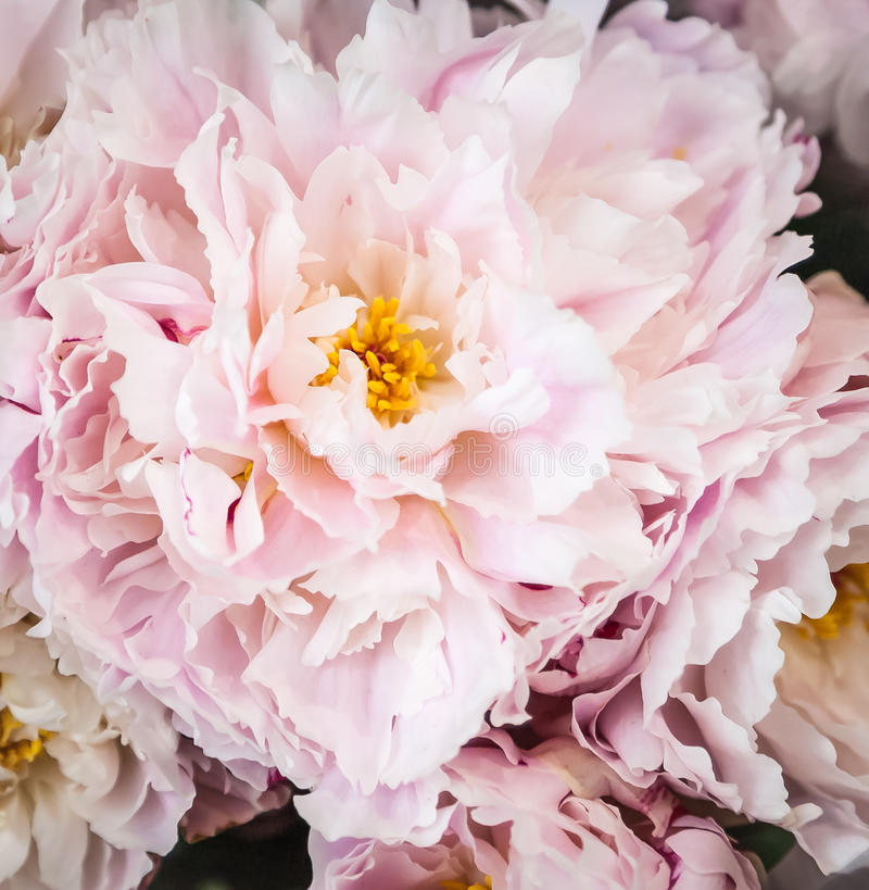Bouquet of Pink Peonies on Sale at the Florist stock photo