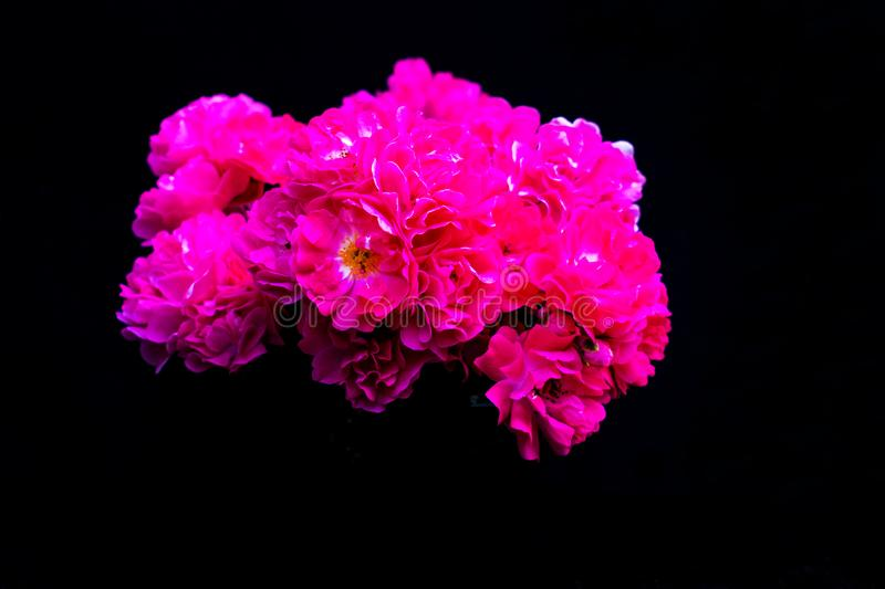 A bouquet of pink roses on a black background. stock photography