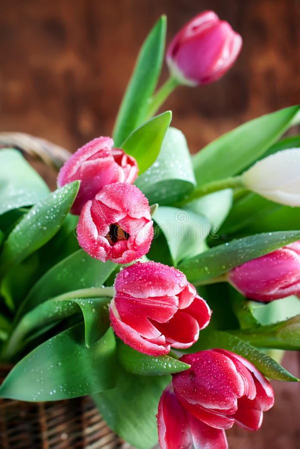 Bouquet of Pink Spring Tulips with Water drops. On Wooden Background royalty free stock images