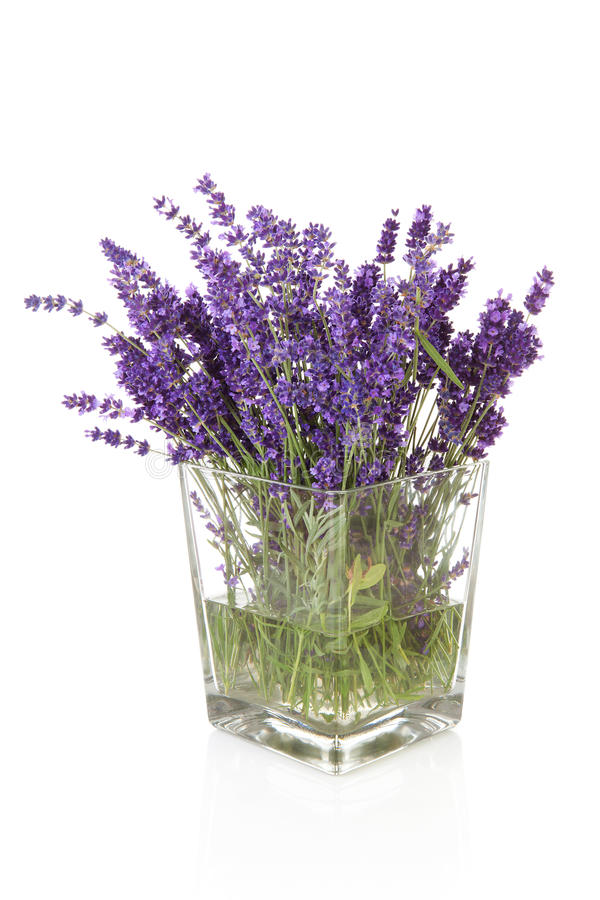 Bouquet of plukked lavender in vase. Bouquet of picked lavender in vase over white background royalty free stock photography