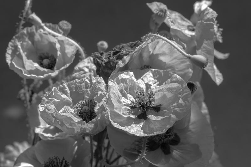 Bouquet of poppies. Red flowers sign of remembrance day. Black and white background photograph. Bouquet of poppies. Red flowers sign of remembrance day. Black royalty free stock images