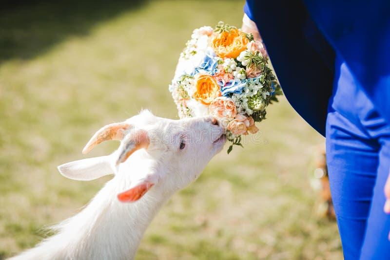 Bouquet pour la chèvre photographie stock libre de droits