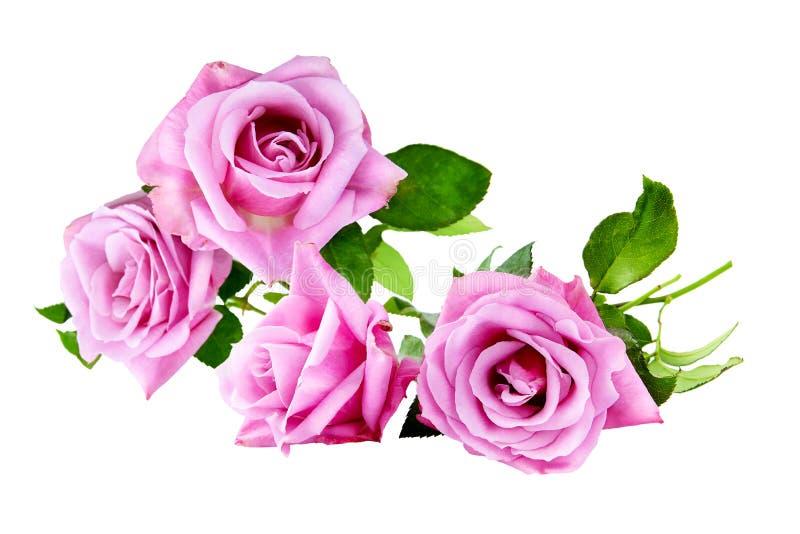 Bouquet pourpre de roses sur le blanc d'isolement images libres de droits