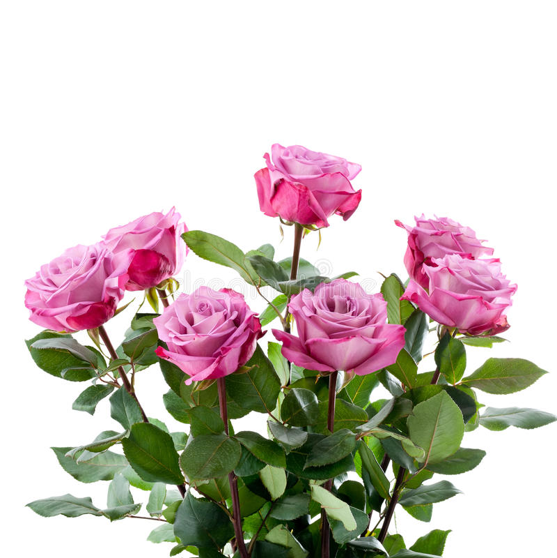 Bouquet pourpre de roses sur un fond blanc photos stock