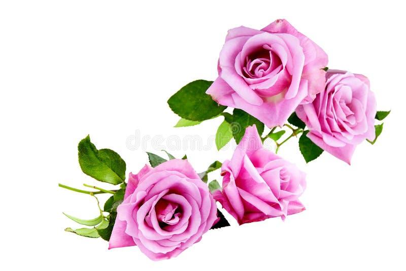 Bouquet pourpre de roses sur un fond blanc photo libre de droits