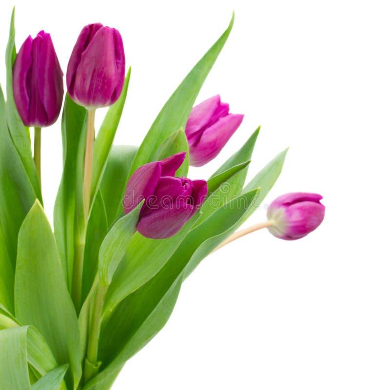 Bouquet pourpre de tulipes photos stock