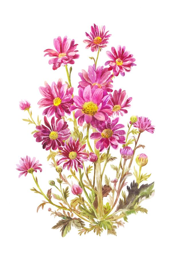 Bouquet of purple asters in watercolor. Botanical illustration, realistic drawing. Claret garden flowers isolated on white. Watercolor drawing of Michaelmas vector illustration