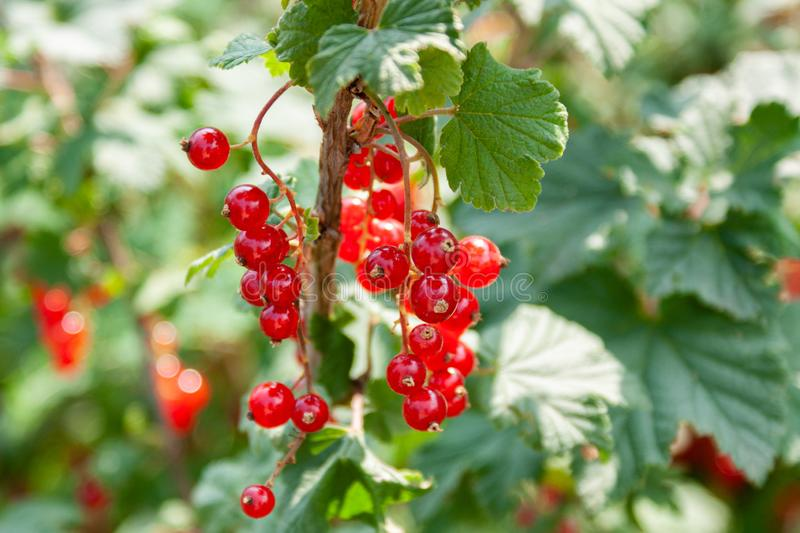 Bouquet of red currant berries Ribes rubrum on a branch with leaves close-up. In sunny weather stock photo