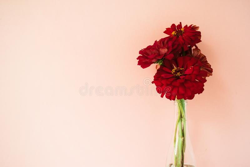 Bouquet of red cynicism in front of pale pink pastel background. Floral lifestyle composition with copy space. Bouquet of red cynicism in front of pale pink royalty free stock photography