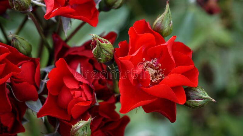 Bouquet of red roses in the garden in spring and summer. Macro bright rose petals.  royalty free stock images