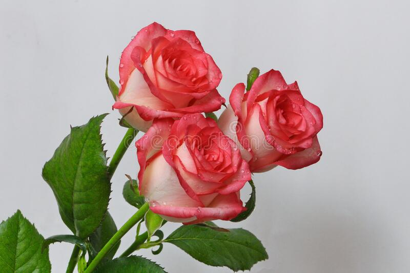 A bouquet of red roses from three buds on a white background stock image
