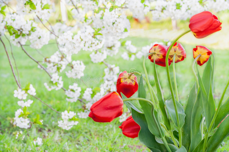 Bouquet of red tulips on the background of the cherry blossoms royalty free stock photography
