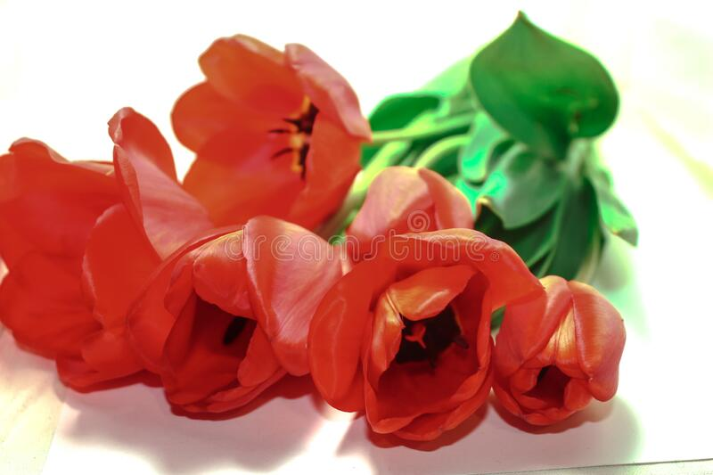 Bouquet of red tulips. Bouquet of homemade decorative red tulips on a white blurred background stock photos