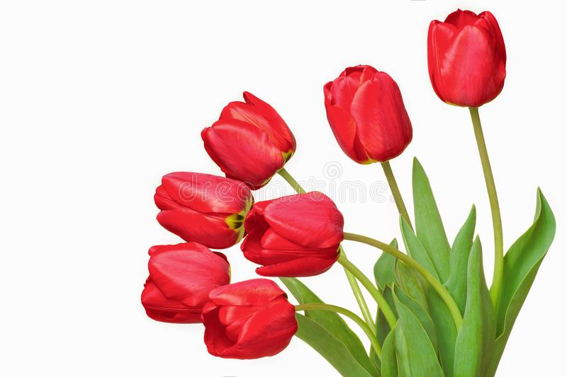 Bouquet of red tulips isolated on white background stock photos
