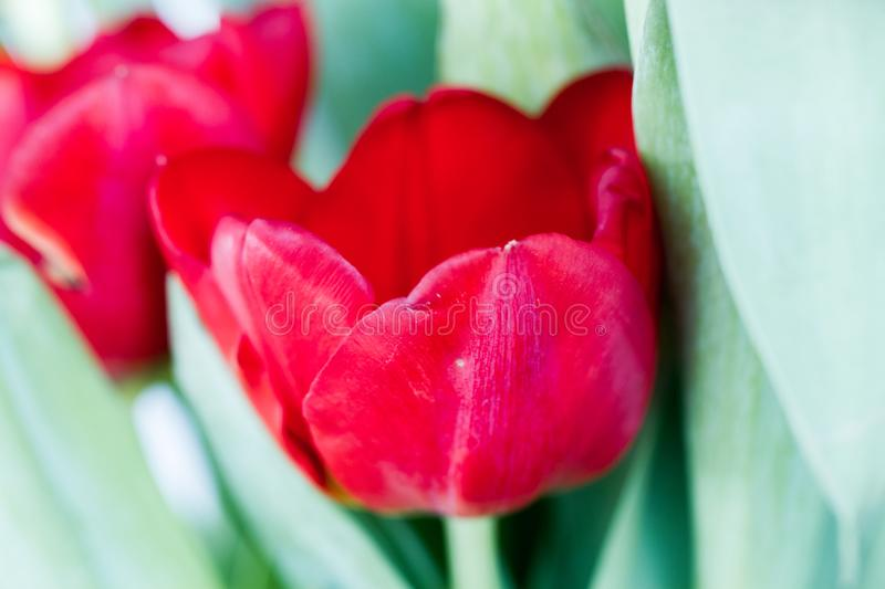 Bouquet of red tulips over light background royalty free stock photos