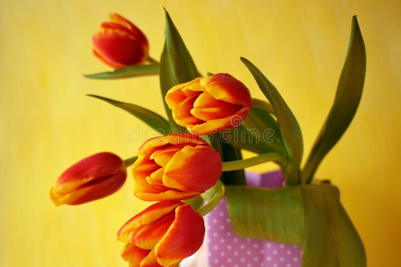 Bouquet of red tulips in a present bag stock photos