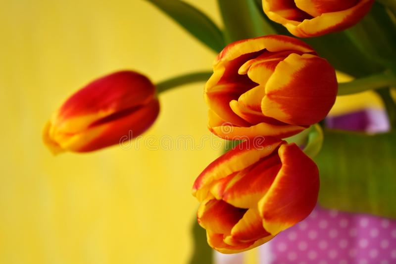 Bouquet of red tulips stock photos