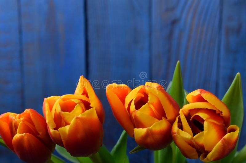 Bouquet of red and yellow tulips against the blue wooden background stock photography