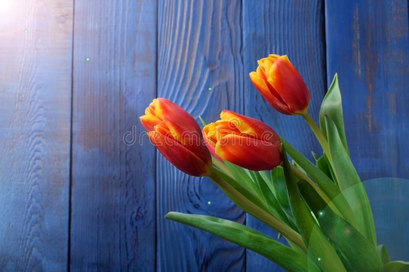 Bouquet of red and yellow tulips against the blue wooden background stock image