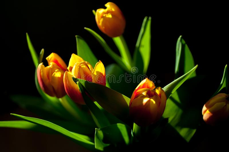 Bouquet of red and yellow tulips royalty free stock images