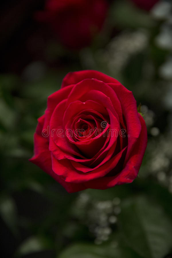 bouquet rose images stock