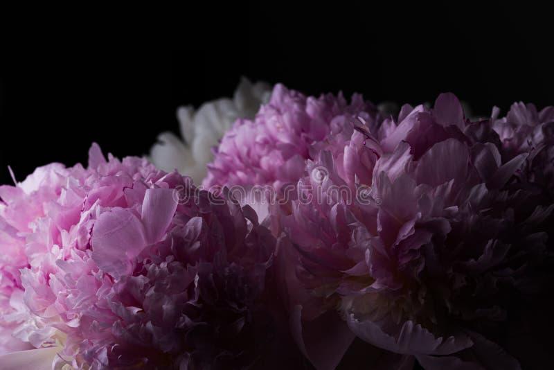 Bouquet rose foncé de fleur de pivoine sur un fond noir photos libres de droits