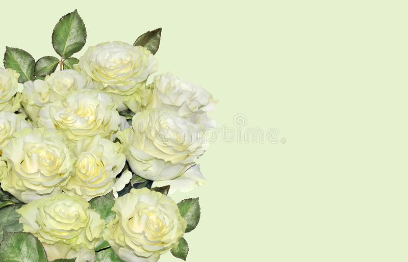 Beautiful floral background with white roses bouquet. Bouquet of roses close up, isolated on gentle lime background. Element of design for invitation or greeting stock photos