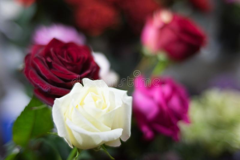 A bouquet of roses in the focus of the portrait lens in the evening romantic light. In anticipation of the holiday royalty free stock image